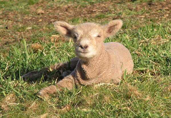 Babydoll, Southdown, Sheep, Miniature, Photos, Photographer, Landscape, Farm, Farming, Rural, Rob Power, Farming Photos, Rural Photos, Animal Photos, Stock Photos, Livestock Photos, Sheep Photos, Tractor Photos