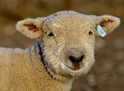 Pet Sheep, Lawn Mower Sheep, Grass Eater Sheep, Sheep For Sale, Lambs For Sale, Pet Sheep For Sale